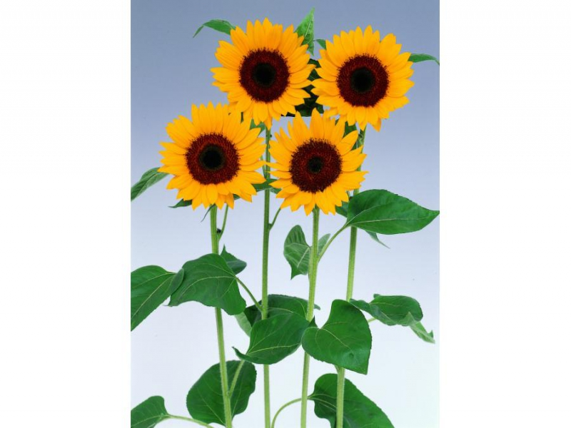 Helianthus Sunbright Supreme