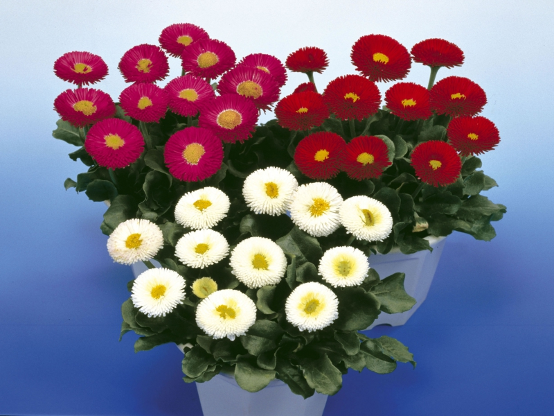 Bellis Galaxy