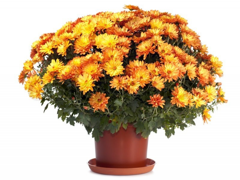 Pot Crysanthemum