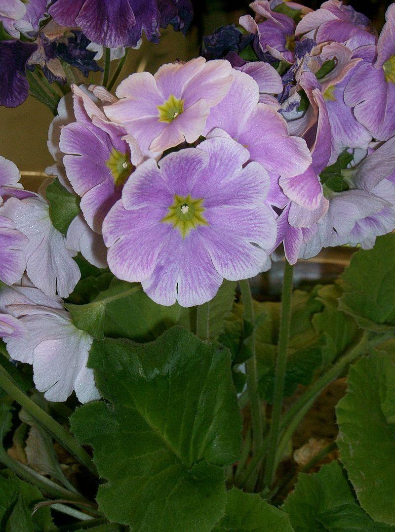 11 Ay Çiçeği - Primula Obconic Touch Me
