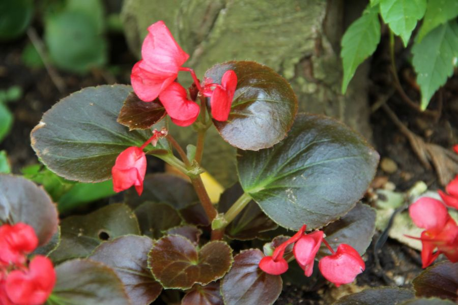 Gül Begonya - Begonia Tuberhybrida Fortune