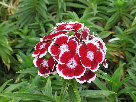 Çin Karanfili - Dianthus Hybrida Nana Diamond