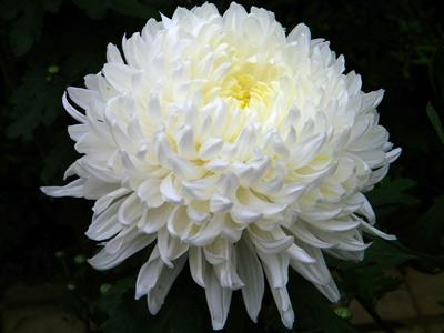 Kesme Kasım Patı - Cut Crysanthemum