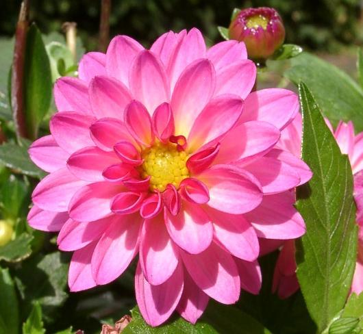 Yıldız - Dahlia Hybrida Figaro