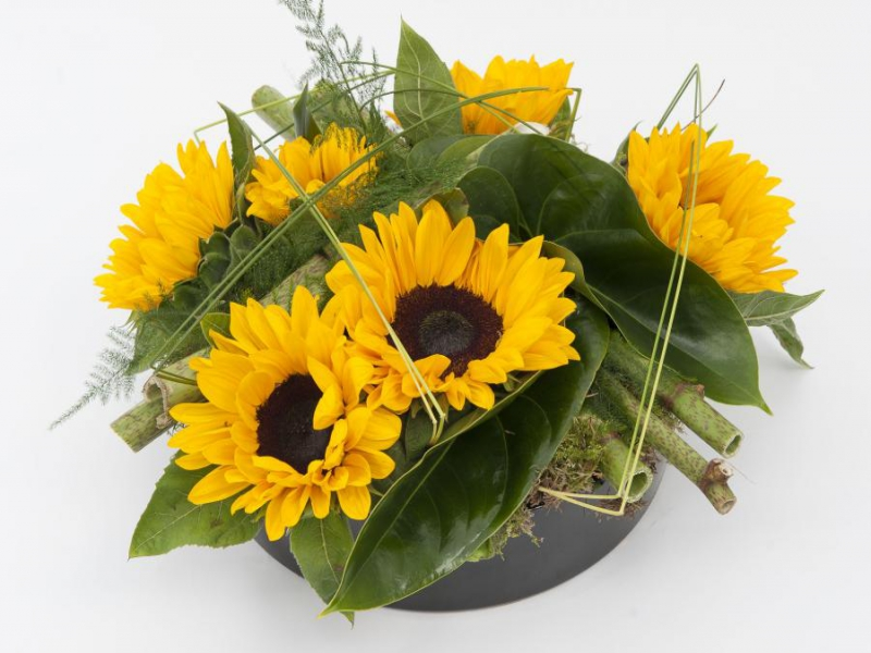 Helianthus Vincent's