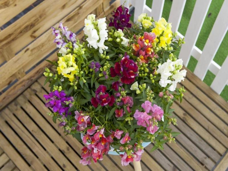 Anthirrhinum Floral Showers